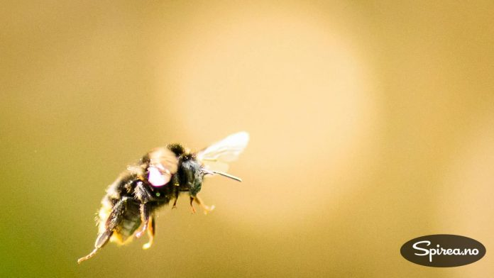 Du trenger ikke å være redd for å bli stukket selv om du har mange humler og bier i hagen, de stikker ikke med mindre de føler seg truet.