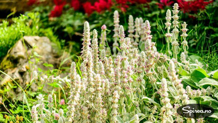 Lammeøre er en veldig grei plante å ha på områder der det ikke gjør noe om den sprer seg litt utover.