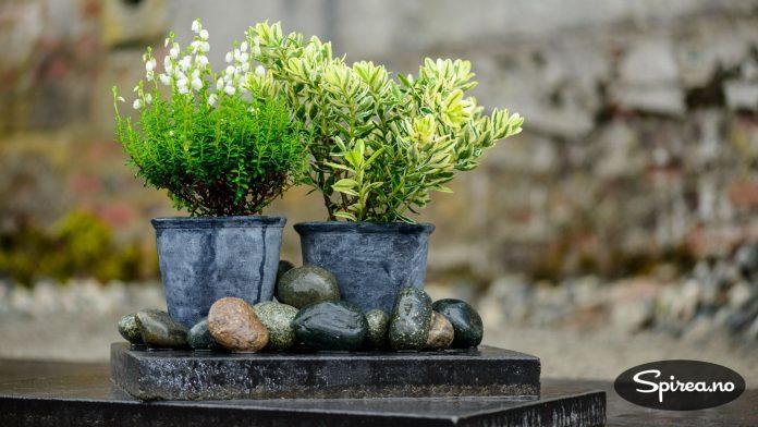 Klokkelyng (Daboecia) og broketbladet Hebe er flotte og anvendelige høstplanter.