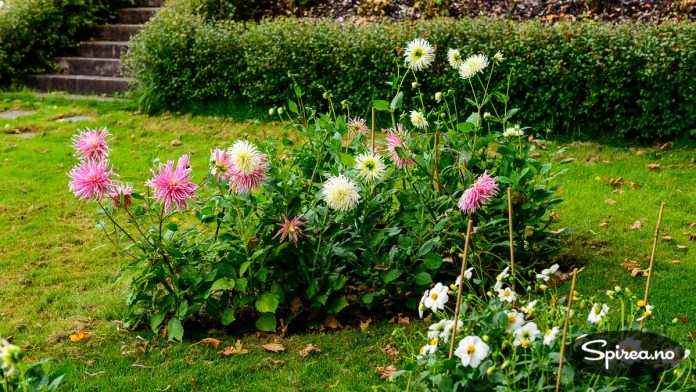 Georginer hører med i historiske hager, disse har vært brukt som hageplanter i Norge i flere hundre år.