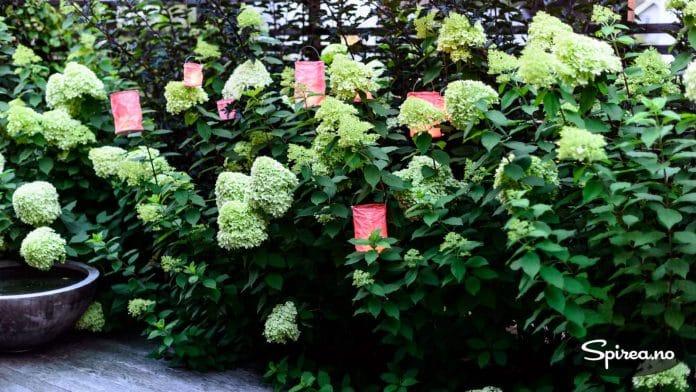 Henger du enkle papirlykter i en blomstrende syrinhortensia, blir busken sin egen skulptur.