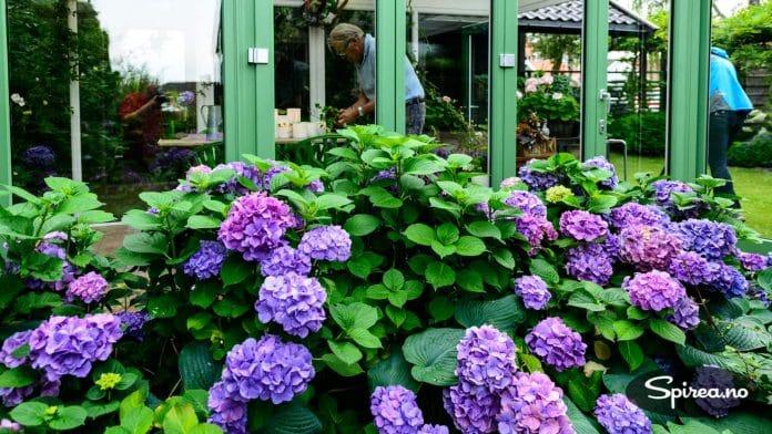 Hortensia er blant Finn Schjølls absolutte favorittplanter. Denne breier seg utenfor drivhuset.