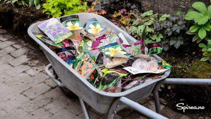 Vi fikk 645 blomsterløk fra Nordic Garden, og kan glede oss til et fantastisk blomsterflor til våren.