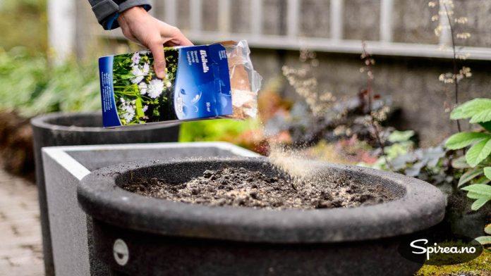 For å gi ekstra næring til løkene kan du strø litt beinmel på jorda for å gjødsle.